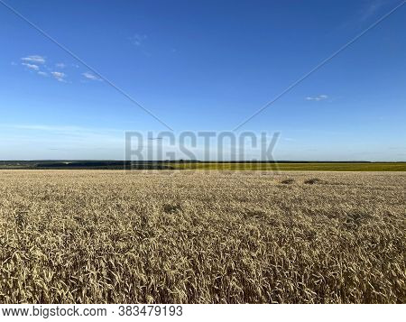 Landscape . Field Of Yellow Yellow Wheat Against A Blue Sky With White Clouds. Beautiful Countryside