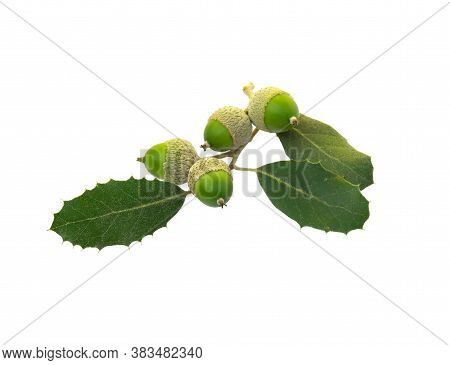 Bunch Of Holm Oak Or Holly Oak Tree, Branches Dark Glossy Green Spiked Leafs With Acorns Or Raw Frui