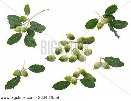 Collection Of Holm Oak Or Holly Oak Tree, Branches Dark Glossy Green Spiked Leafs With Acorns Or Raw