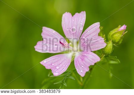 Blooming Wild Pink Flower Musk Mallow (malva Alcea, Cut-leaved Mallow, Vervain Mallow Or Hollyhock M