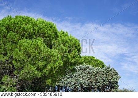 Upward View Of The Green Leafs Italian Stone Pine Trees Under Beautiful White Fluffy Clouds On Vivid