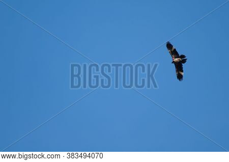 Juvenile Bearded Vulture Gypaetus Barbatus In Flight.