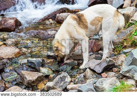 A Stray Dog Drinks Water In The River. Animal Free Or Helping Stray Animals. Animal World