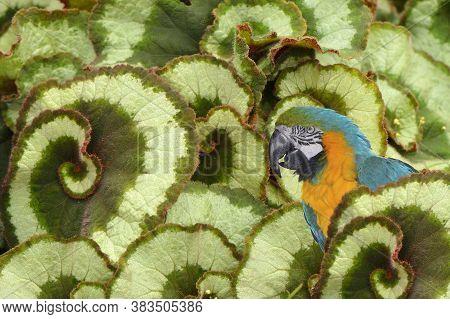 Blue And Yellow Macaw Latin Name Ara Ararauna In Begonia Escargot Foliage Creating A Pattern In A Ga