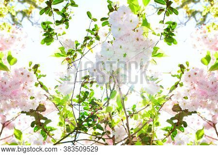 Bright Sunlight Shining Through Pink And Whiite Flowers Of Cherry Blossom. Concept Of Spring Time An