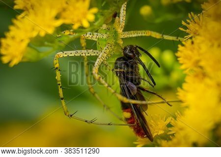 Close Up Of A Green Lynx Spider (peucetia Viridans) That Has Captured A Two-spotted Scoliid Wasp. Ra