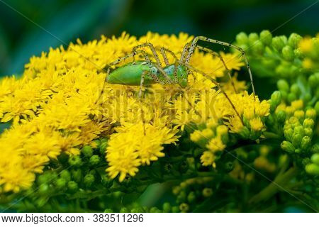 A Green Lynx Spider (peucetia Viridans) Perched Upon Goldenrod Blooms. Raleigh, North Carolina.