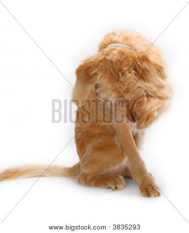 Shy Labradoodle On White Background