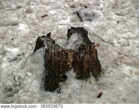 Old Stump In The Forest Under The Snow, Moscow