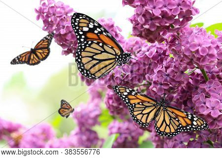 Amazing Monarch Butterflies In Lilac Garden, Closeup