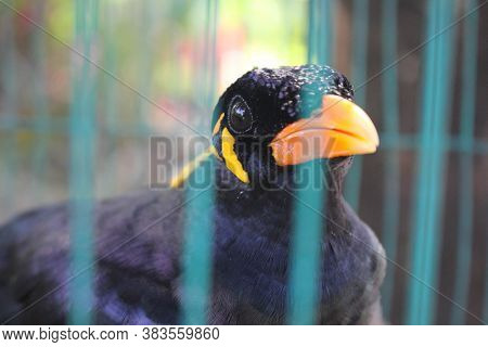 Bird Cage Myna Bird Talking Myna Bird,black Bird In The Cage