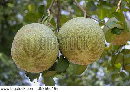 Pomelo Citrus Fruit, Green Pomelo Hanging On Branch