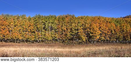 Panoramic view of colorful Aspen trees in autumn time.