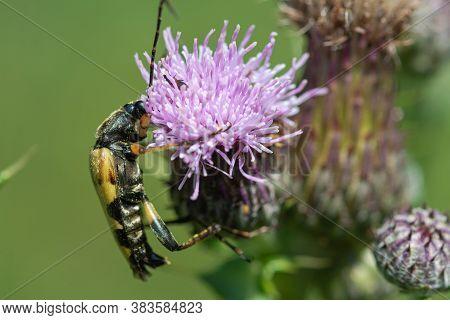 Spotted Longhorn (rutpela Maculata)