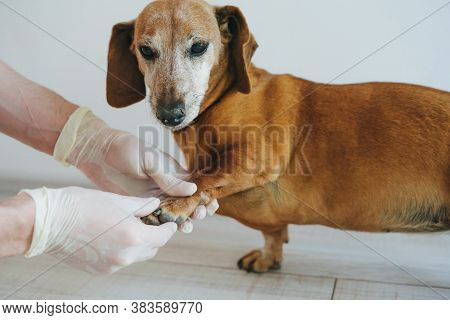 An Adult Dog At A Veterinarians Appointment. Old Tact In The Veterinary Clinic At The Doctors Appoin