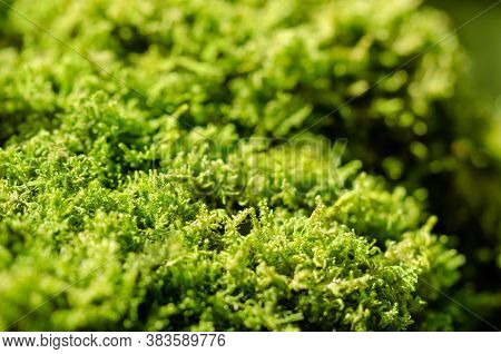 Fresh Green Moss On A Stone In A Forest. Small, Non-vascular Flowerless Plants That Typically Form D
