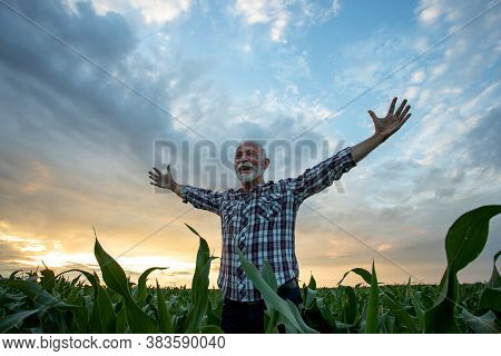 Excited Satisfied Old Man Farmer In Plaid Shirt Standing In Corn Field With Outstretched Raised Arms