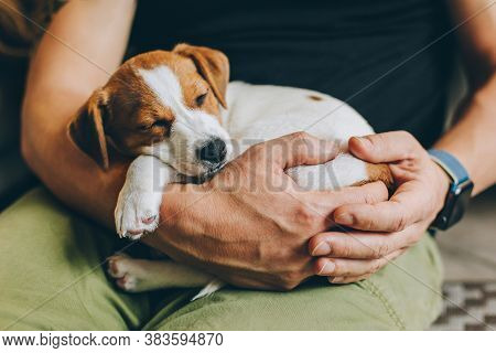 Adorable Puppy Jack Russell Terrier Sleeping In The Owner's Hands. Portrait Of A Little Dog.