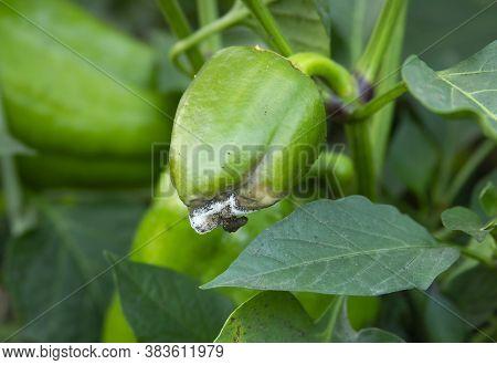 Rotten Green Pepper. Botrytis Blight. Diseases Of The Capsicum And Bell Pepper. Damaged Fruit On The