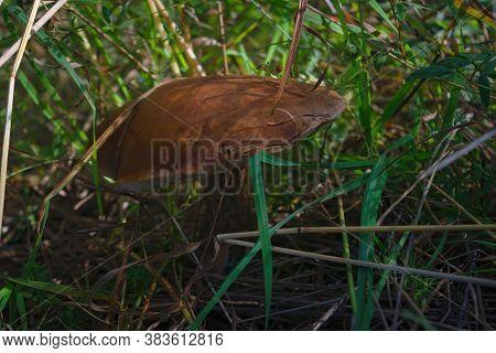 Single Beautiful Aspen Mushroom Leccinum Aurantiacum In Wild Summer Forest.