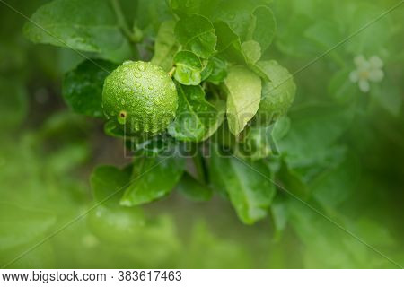Close-up Fresh Green Limes Hanging On A Tree That Gets Wet After Rain On The Farm.