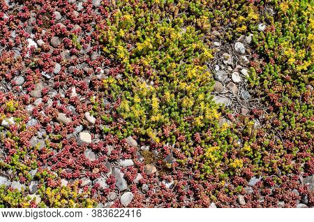 Sedum Sempervivum With Yellow Flowers Covering A Flat Roof With A Pebble Floor