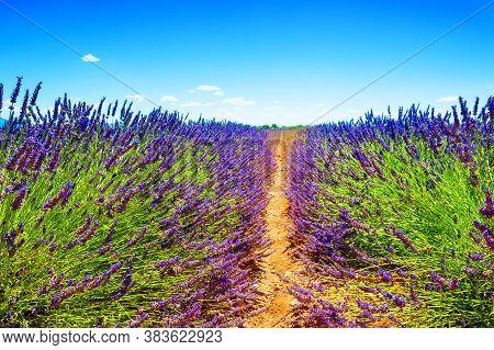 Lavender Fields Near Valensole, Provence, France. Beautiful Summer Landscape. Blooming Lavender Flow