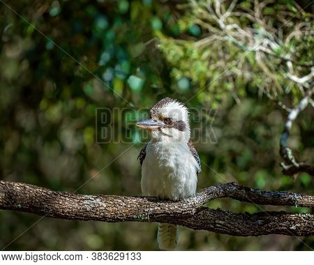 An Australian Kookaburra Perched In The Sun On A Tree Branch With A Blurred Natural Bushland Environ