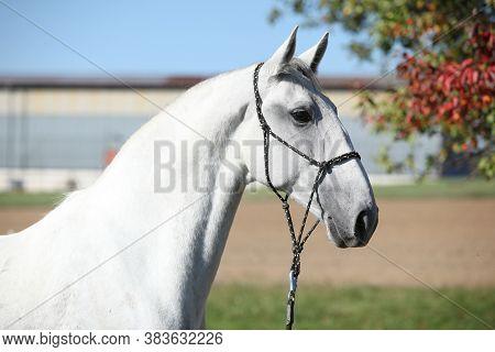 Amazing Lipizzaner Horse On Pasturage