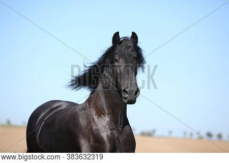 Amazing Black Friesian Horse