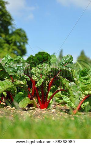 Swiss Chard In The Vegetable Garden