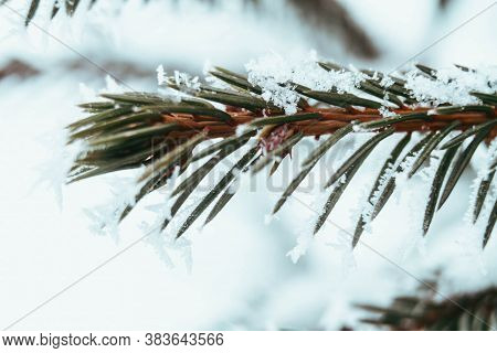 A Branch Of Prickly Spruce To Create A Christmas, New Year Mood. Winter, Snow, Frost On The Needles