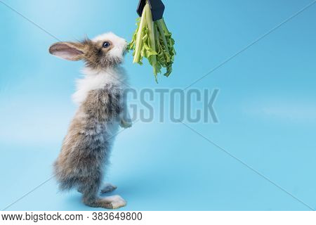 Adorable Little Young Brown And White Rabbits Getting Up To Eating Green Fresh Lettuce Leaves On Iso