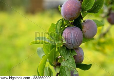 Ripe Plums On A Tree Branch In The Orchard
