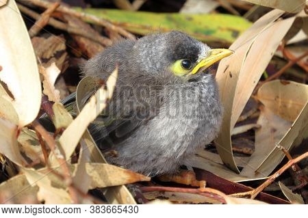 Noisy Miner Baby Bird Fledgling In An Australian Park Surrounded By Brown Gum Leaves
