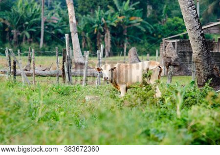 Domestic Cow In The Green Field At Malaysia.