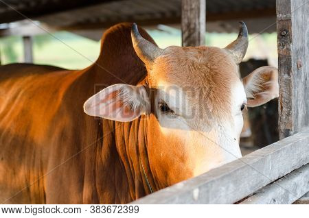 Close Up To Head Of Cow From Cage With Light From Side.