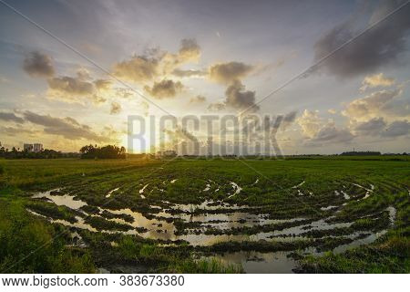 Spiral Pattern At Paddy Field During Sunset Hours.