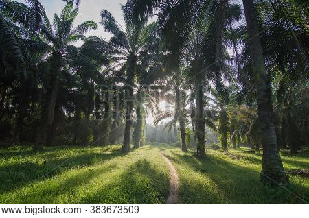 Oil Palm Estate With Back Light In The Morning. Shadow Of Oil Palm Tree Can Be Seen.