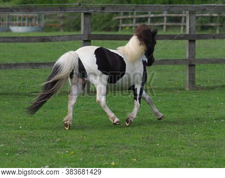 A Young Black And White Miniature Shetland Pony Plays In A Paddock.