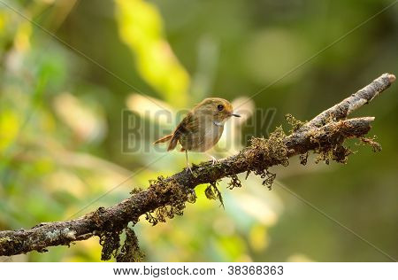 beautiful rufous-browed flycatcher(Ficedula solitaris) in Thai forest poster