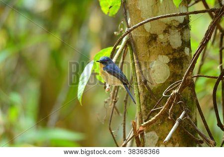 beautiful male hill blue flycatcher (Cyornis banyumas) possing poster
