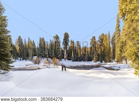 Scenic Winter Landscape With Sequoia Trees In The Sequoia Tree National Park