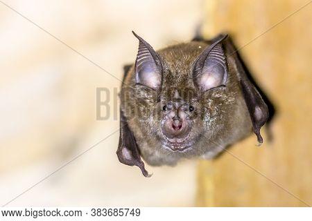 Greater Horseshoe Bat (rhinolophus Ferrumequinum) Occurs In Europe, Northern Africa, Central Asia An