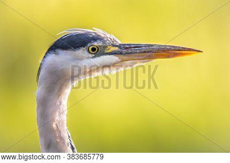 Grey Heron (ardea Cinerea) Portrait Of Wading Bird Looking For Food In Wetland In Flanders Belgium O