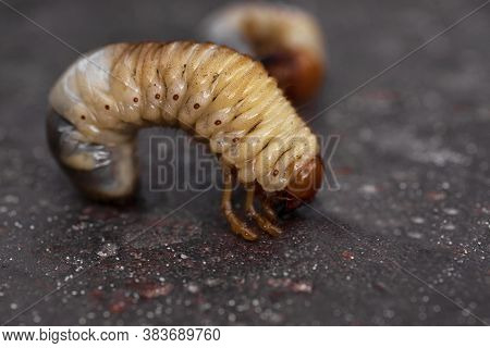Larvae Of Dung Beetle Close-up. May Beetle Larvae.