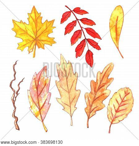 Set Of Watercolor Autumn Hand Drawn Of Various Oak, Maple, Rowan, And Aspen Leaves On White Backgrou