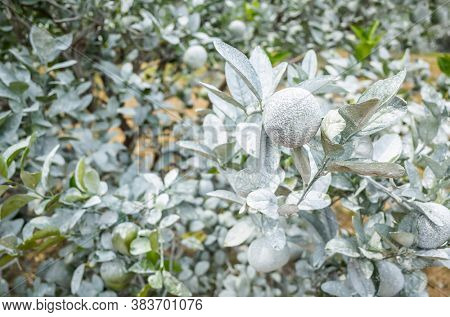 white calcium carbonate on orange trees to protect from the sun