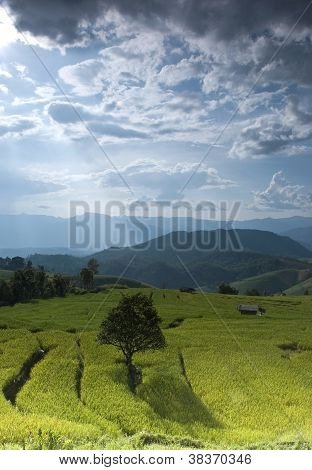 Golden Rice Field In Thailand
