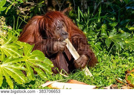 Bornean Orangutan Munches On Some Bamboo. Auckland Zoo, Auckland, New Zealand